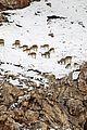 born china snow leopard story pandas monkeys 11