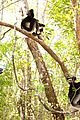 Lemurs-stills island lemurs madagascar stills featurette 10